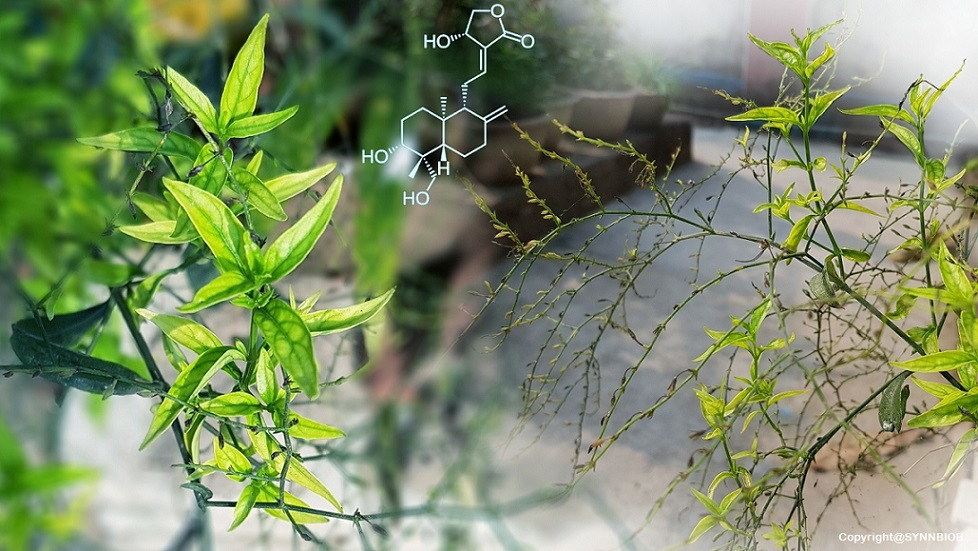 Andrographis paniculata Extract : A perfect Ethnomedicine to boost your immunity