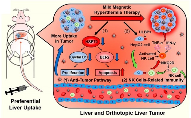 Nanomaterial Inhibits Liver Cancer via Mild Magnetic Hyperthermia Therapy (MHT)